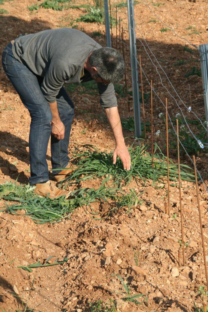 les herbes entrent en concurrence<br> avec la vigne pour le partage de l'eau