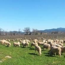 Tous les hivers, les <br>moutons viennent tondre<br> entre les rangs de vigne.